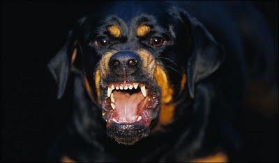 rottweiler-attack.jpg